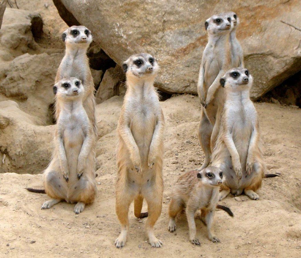 meerkat colony