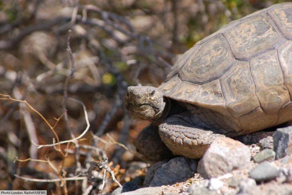 mojave désert tortoise