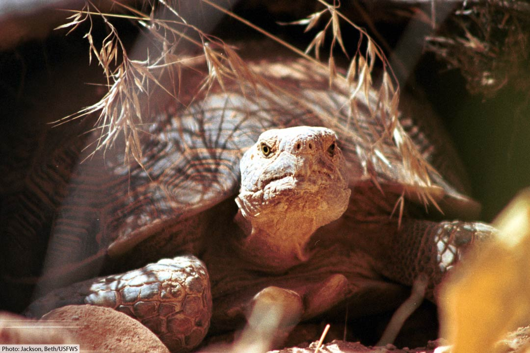 mojave desert tortoise facts