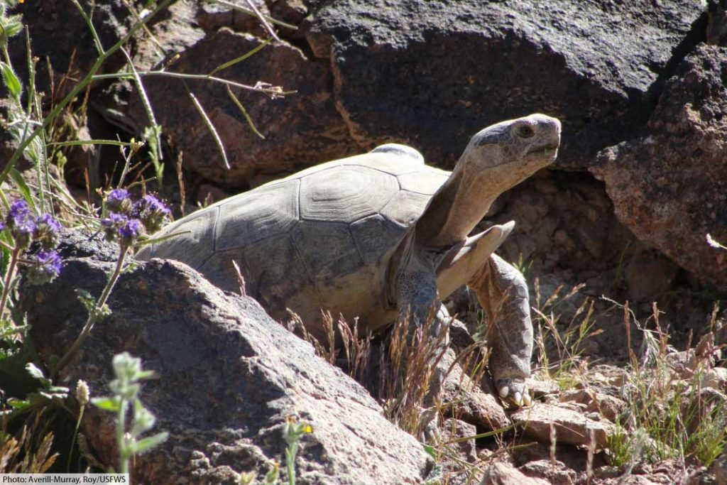 mojave desert tortoise head and body in rocky habitat