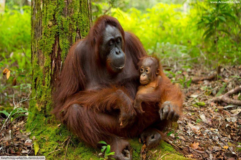 Orangutan mother and baby in rainforest