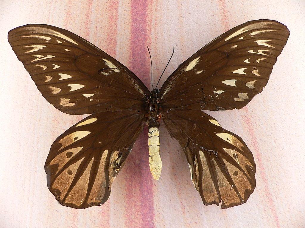 queen-alexandras-birdwing-butterfly