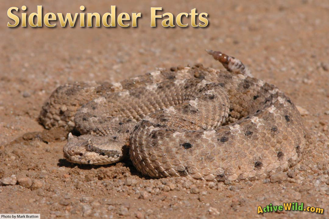 sidewinder facts