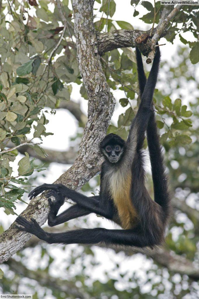 Spider Monkey Rainforest Animals List