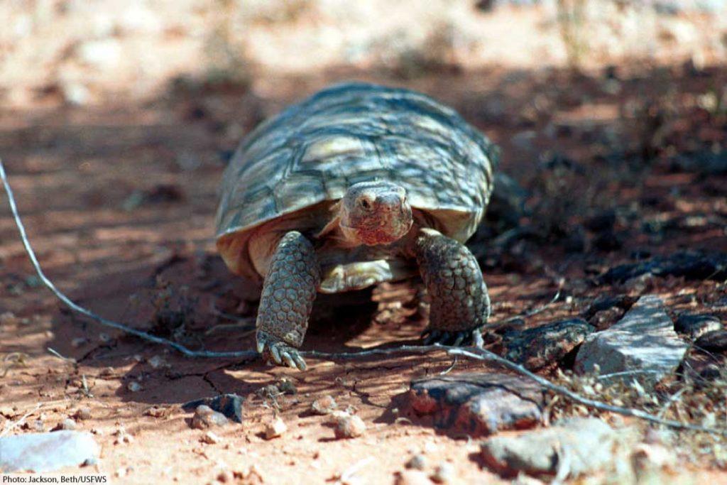 wild desert tortoise