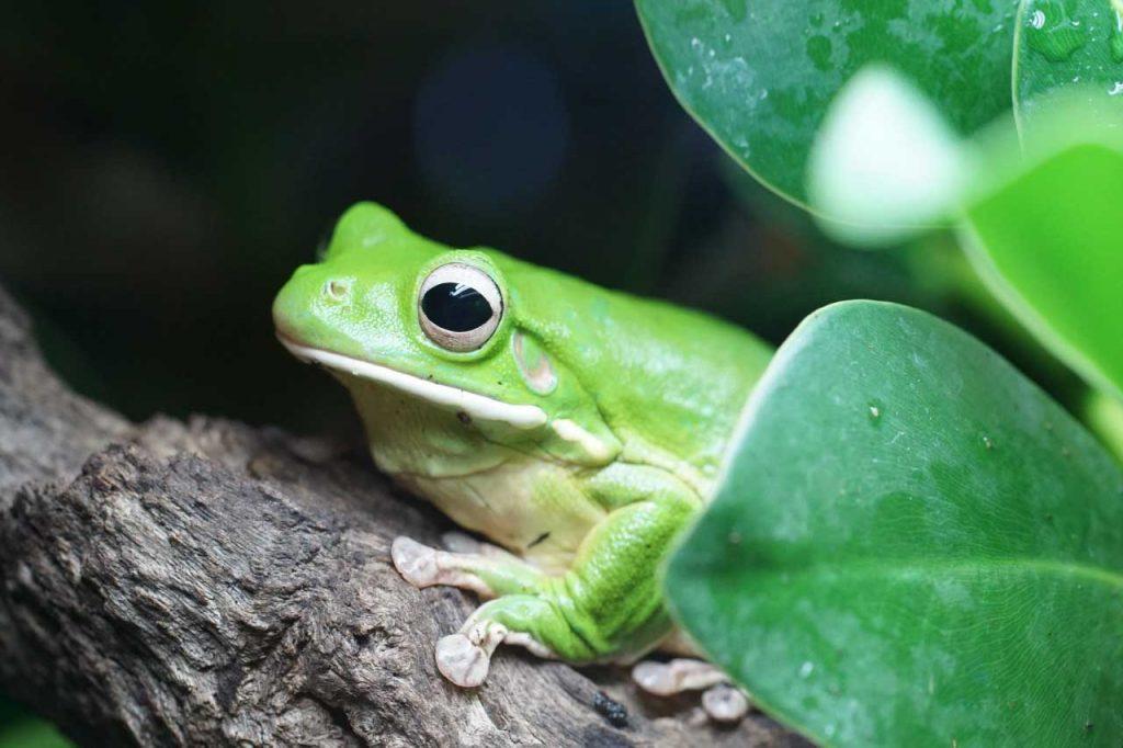 australian giant tree frog