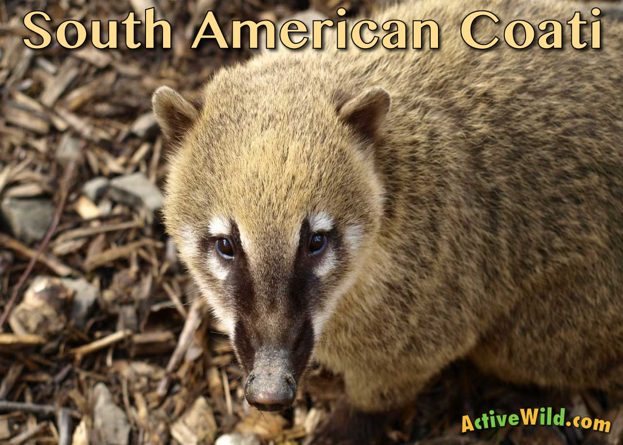 south american coati facts