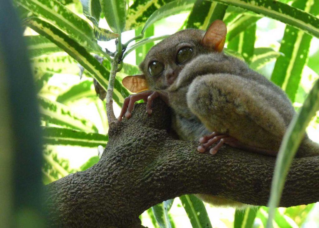 tarsier in rainforest
