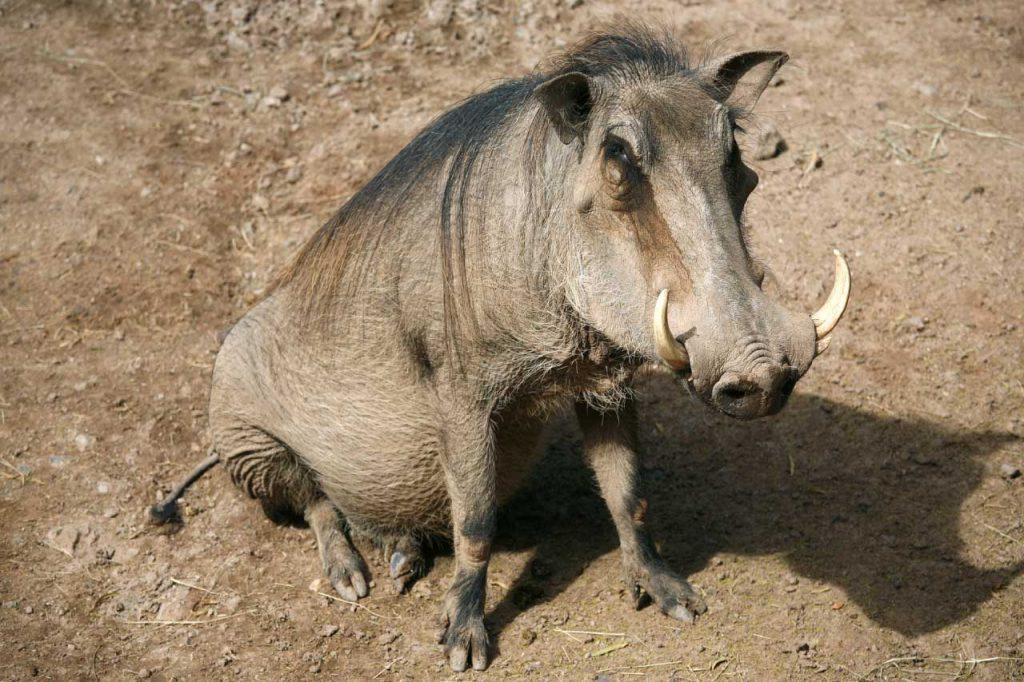 warthog sitting