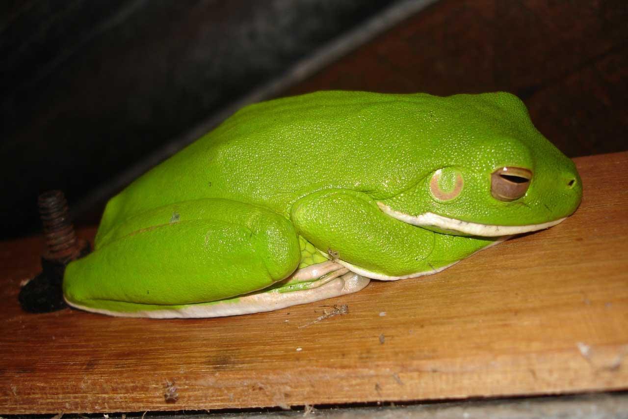 White-Lipped Tree Frog / Australian Giant Tree Frog Facts ...
