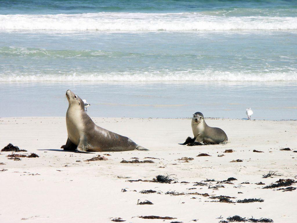 Australian Sea lion with pup