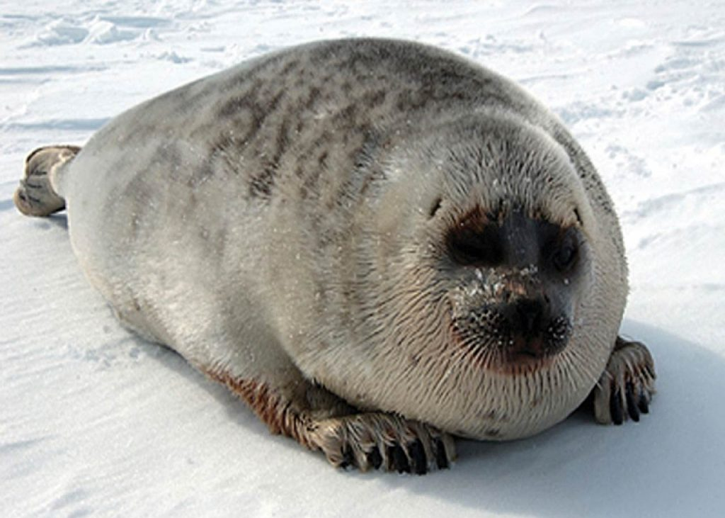 Ringed seal in the Arctic