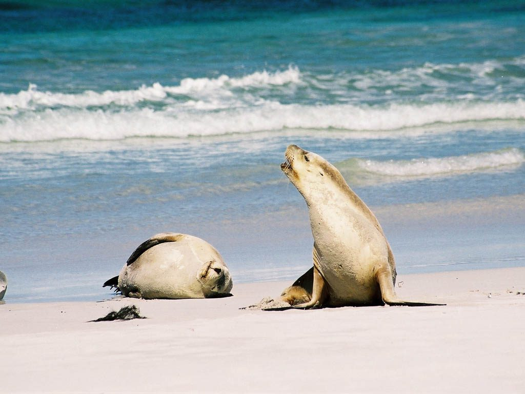 Australian Sea Lion Facts, Pictures, Video & In-Depth ...