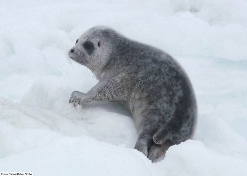 baby ringed seal pup
