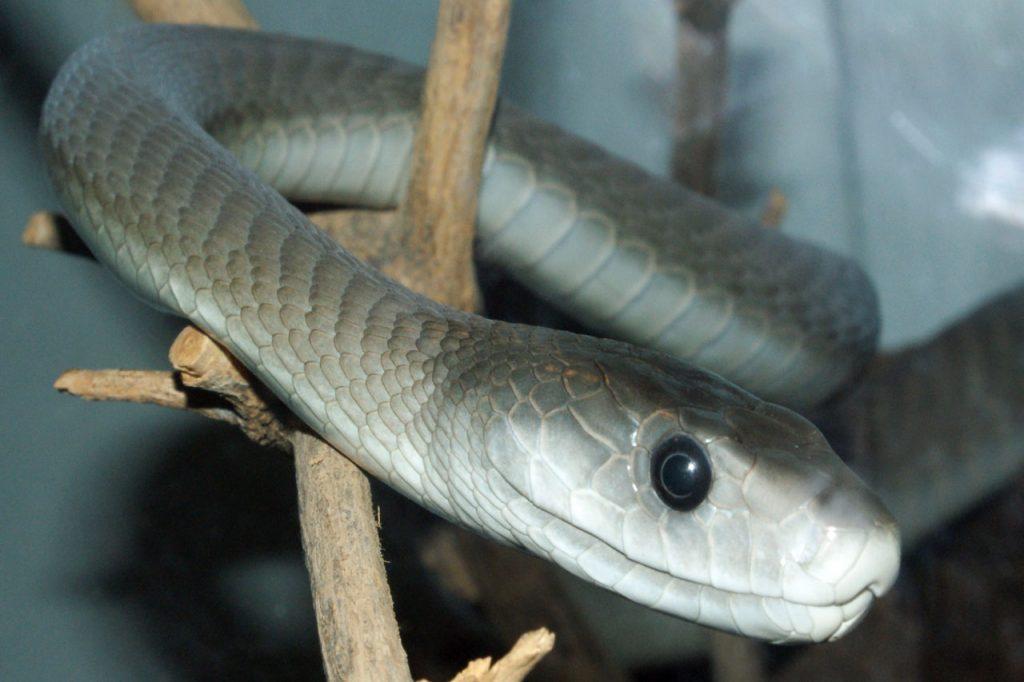 black mamba snake climbing
