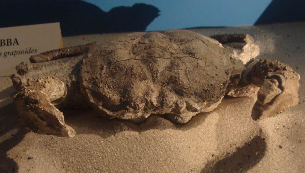 Avitelmessus - Cretaceous Period Crab