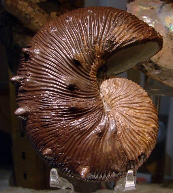 Scaphites Cretaceous Period Fossil