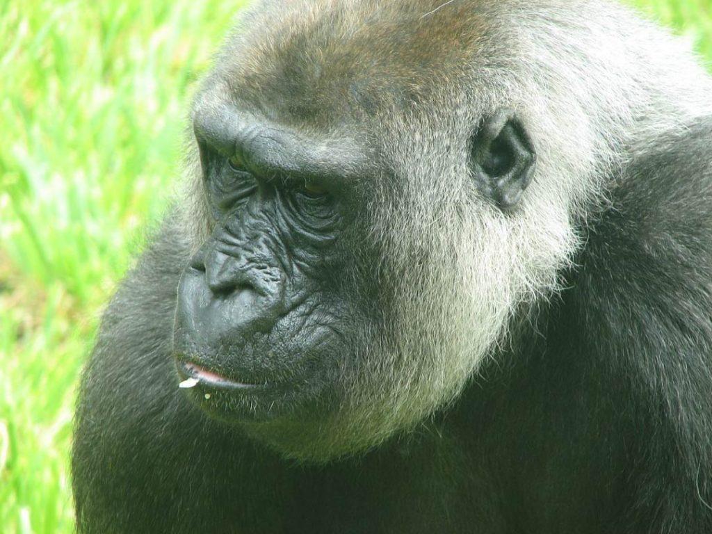 female western gorilla