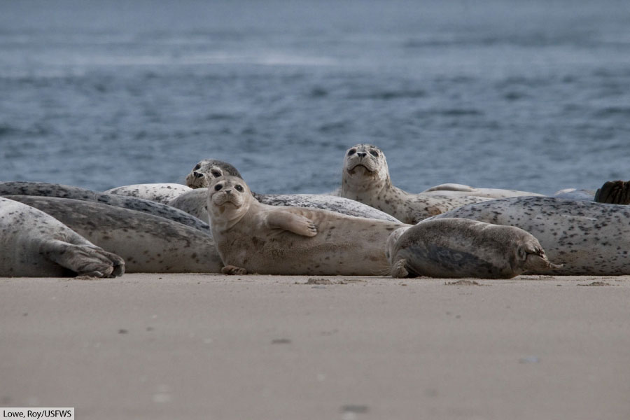 group of harbor seals on sandy beach