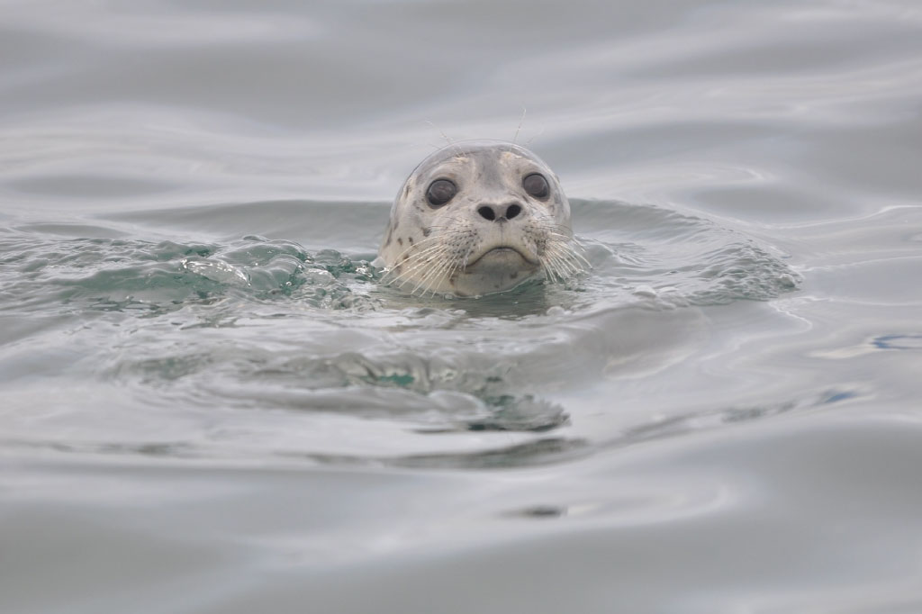 harbor seal facts main image single seal in sea only head visible