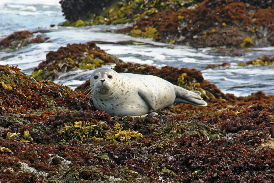 harbor seal hauled out on seaweed