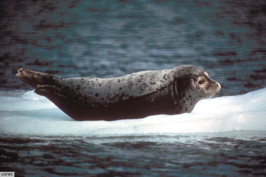 harbor seal on ice floe