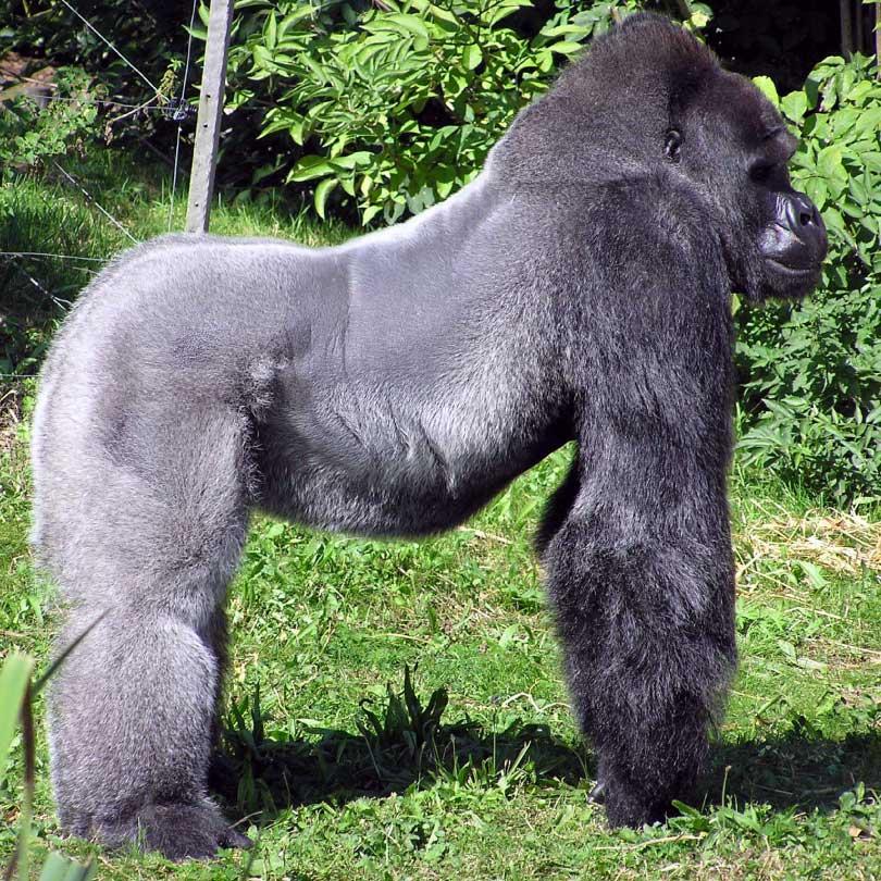 silverback western gorilla