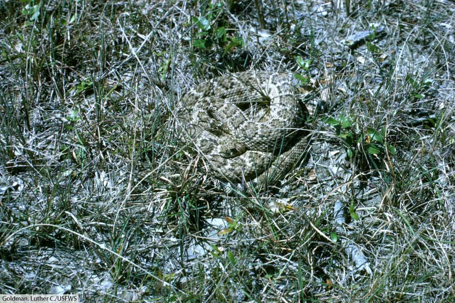 western-diamondback rattlesnake in grassland habitat