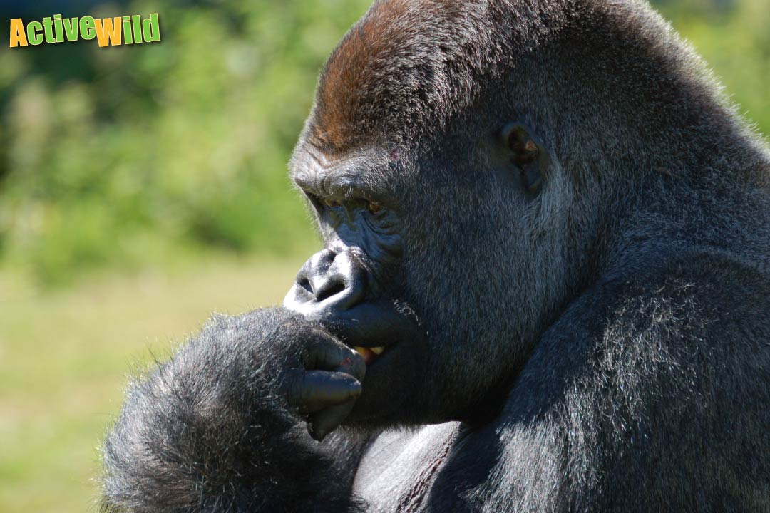 western gorilla facts