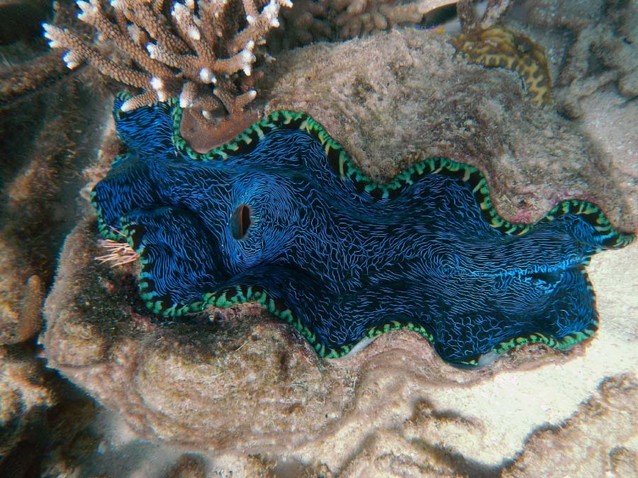Giant clam at the Great Barrier Reef