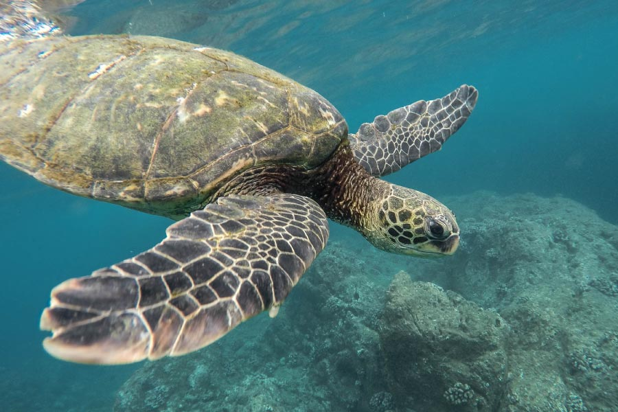 Green sea turtle at the Great Barrier Reef