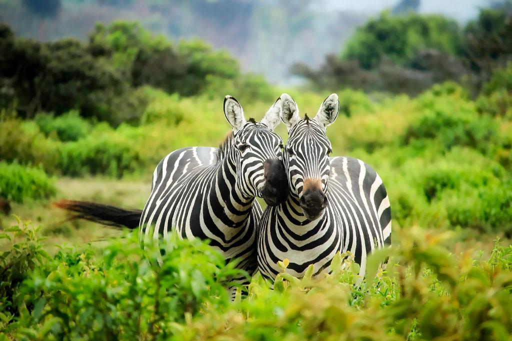 plains zebra facts main image