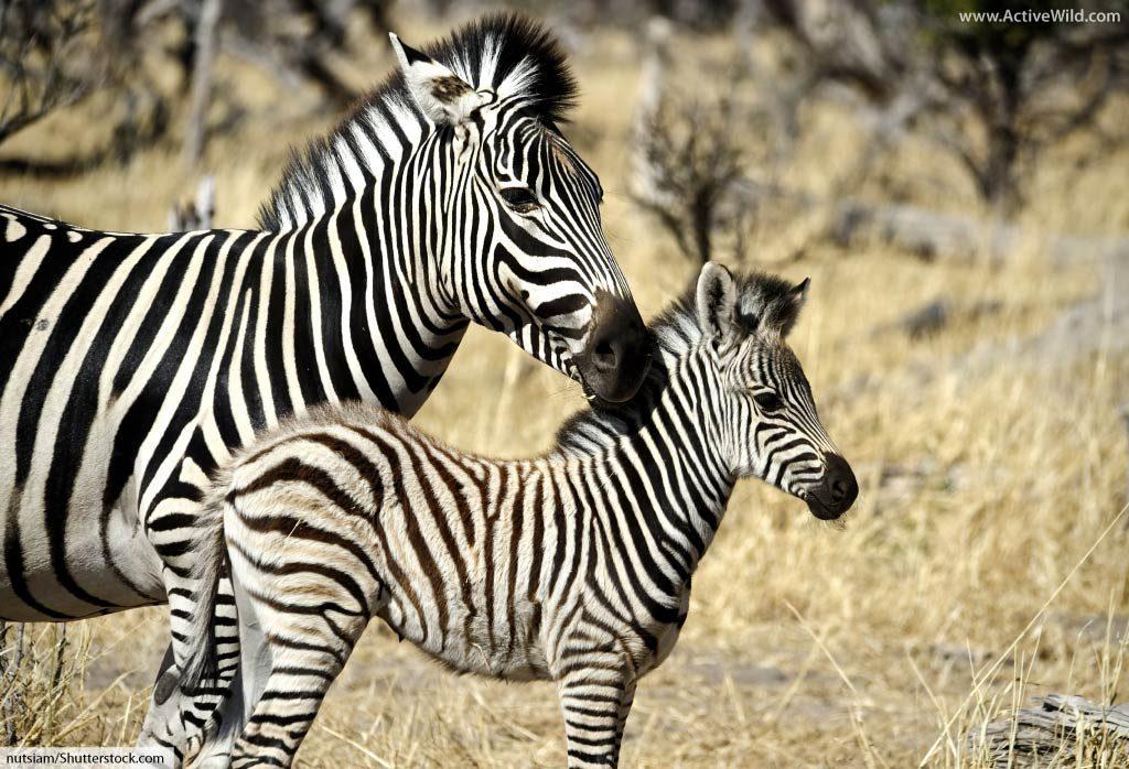 plains zebra with baby