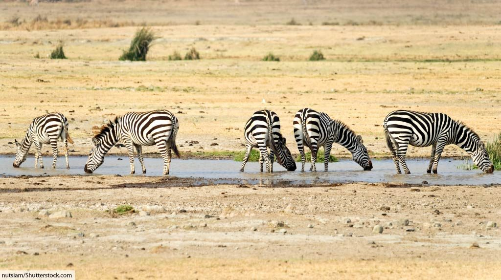 plains zebras at water hole