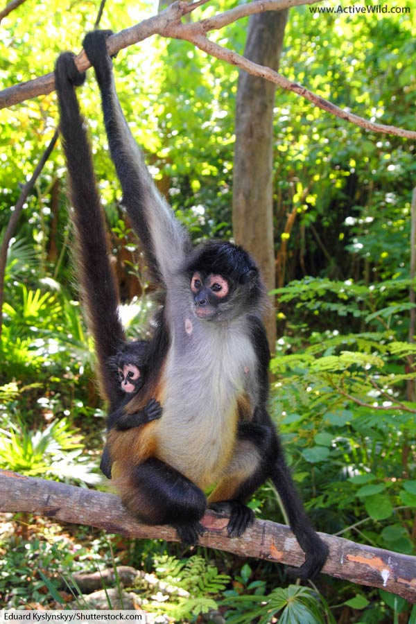 spider monkey mother and child
