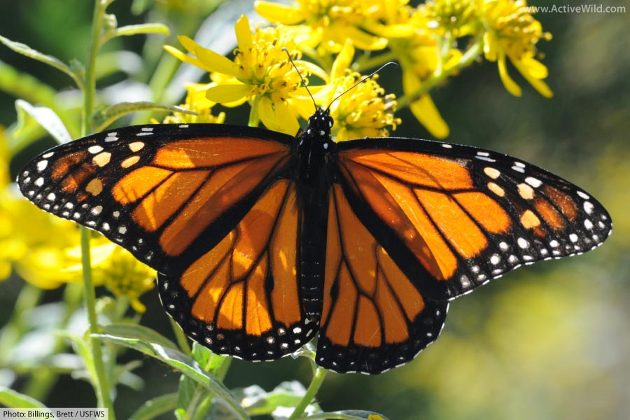 Adult Male Monarch Butterfly