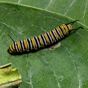 Monarch Caterpillar Stage 4