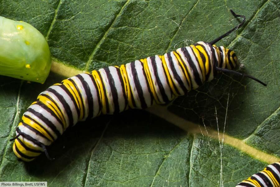 Monarch caterpillar fifth instar