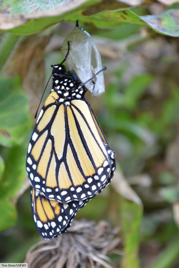 Newly Hatched Monarch Butterfly