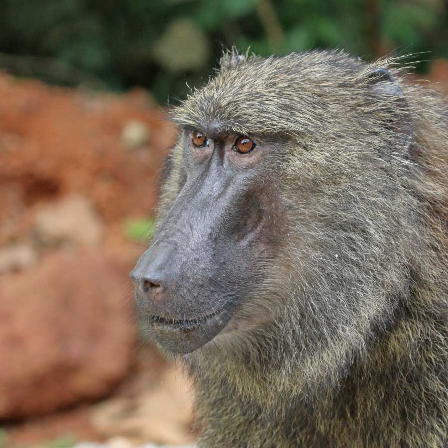 Olive Baboon Face Close Up