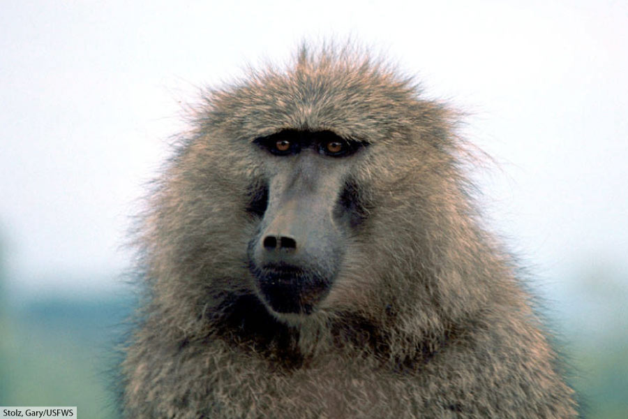 Olive Baboon Facts
