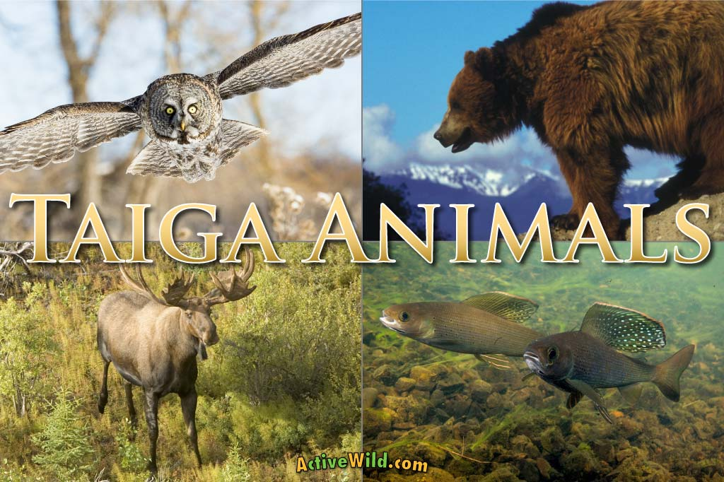 Taiga Animals List Of Animals That Live In The Taiga Biome With Pictures