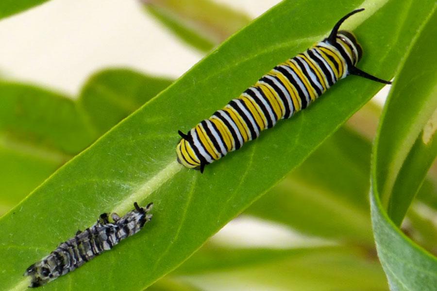 Third instar monarch caterpillar