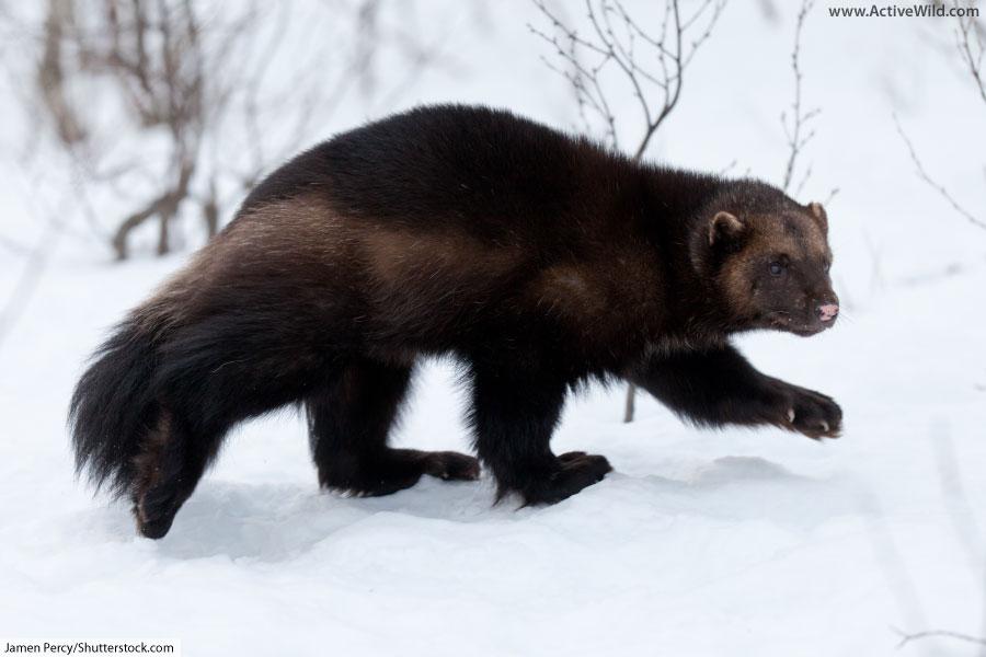 Wolverine Animal