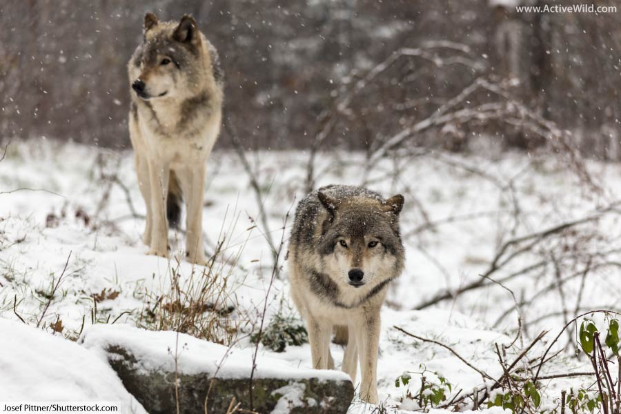 Wolves in the Taiga