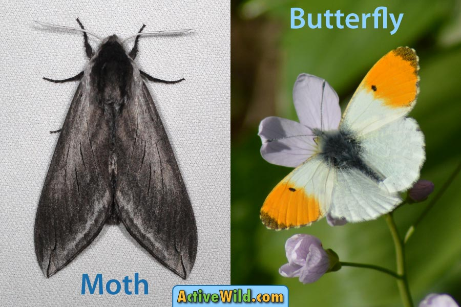 Butterfly vs Moth at rest