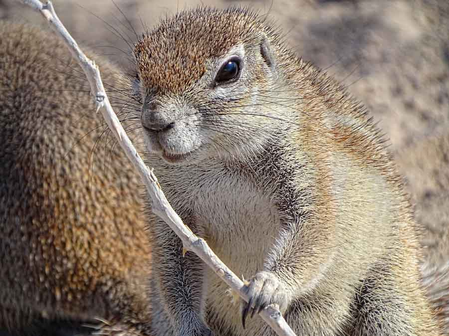 Damara Ground Squirrel