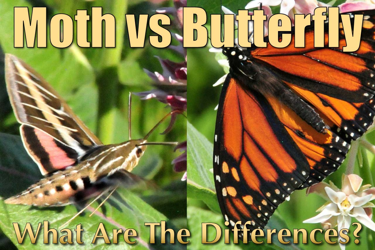 Difference Between Moth And Butterfly