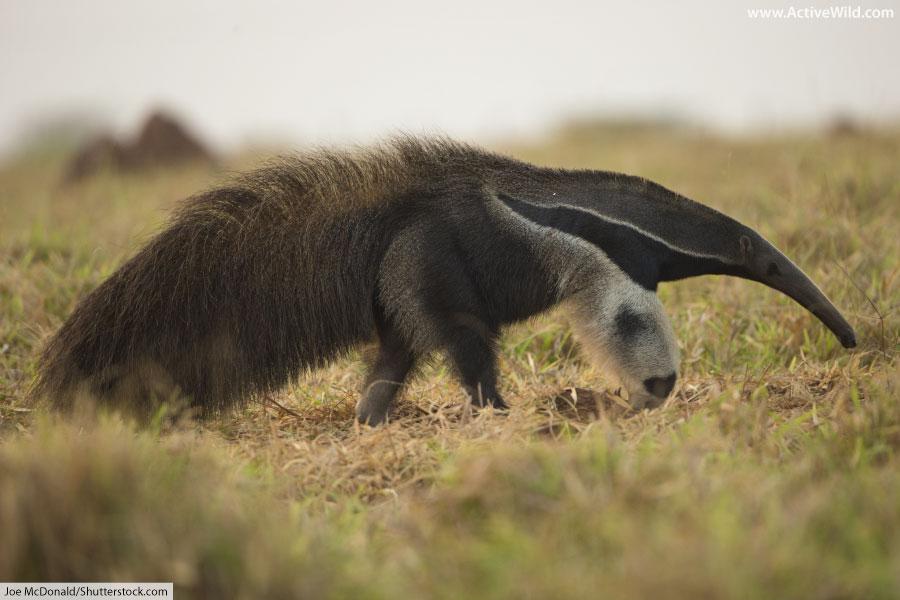 Rainforest Animals List Giant Anteater