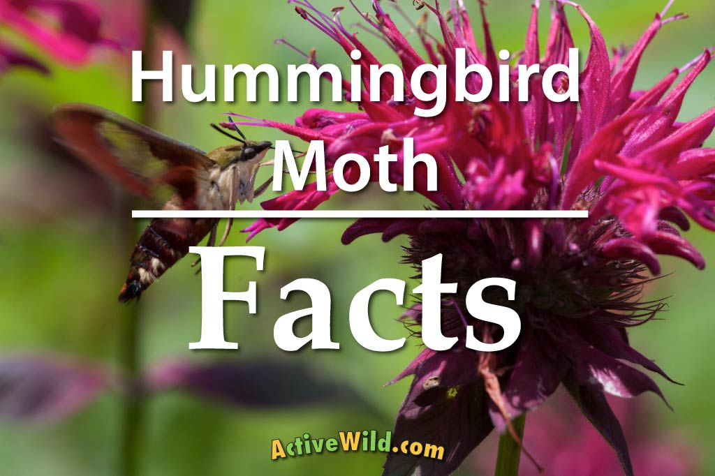 Hummingbird Moth Facts